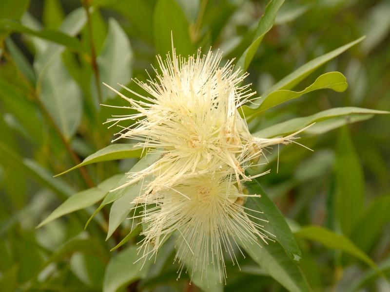 Fleur de Jamrosat